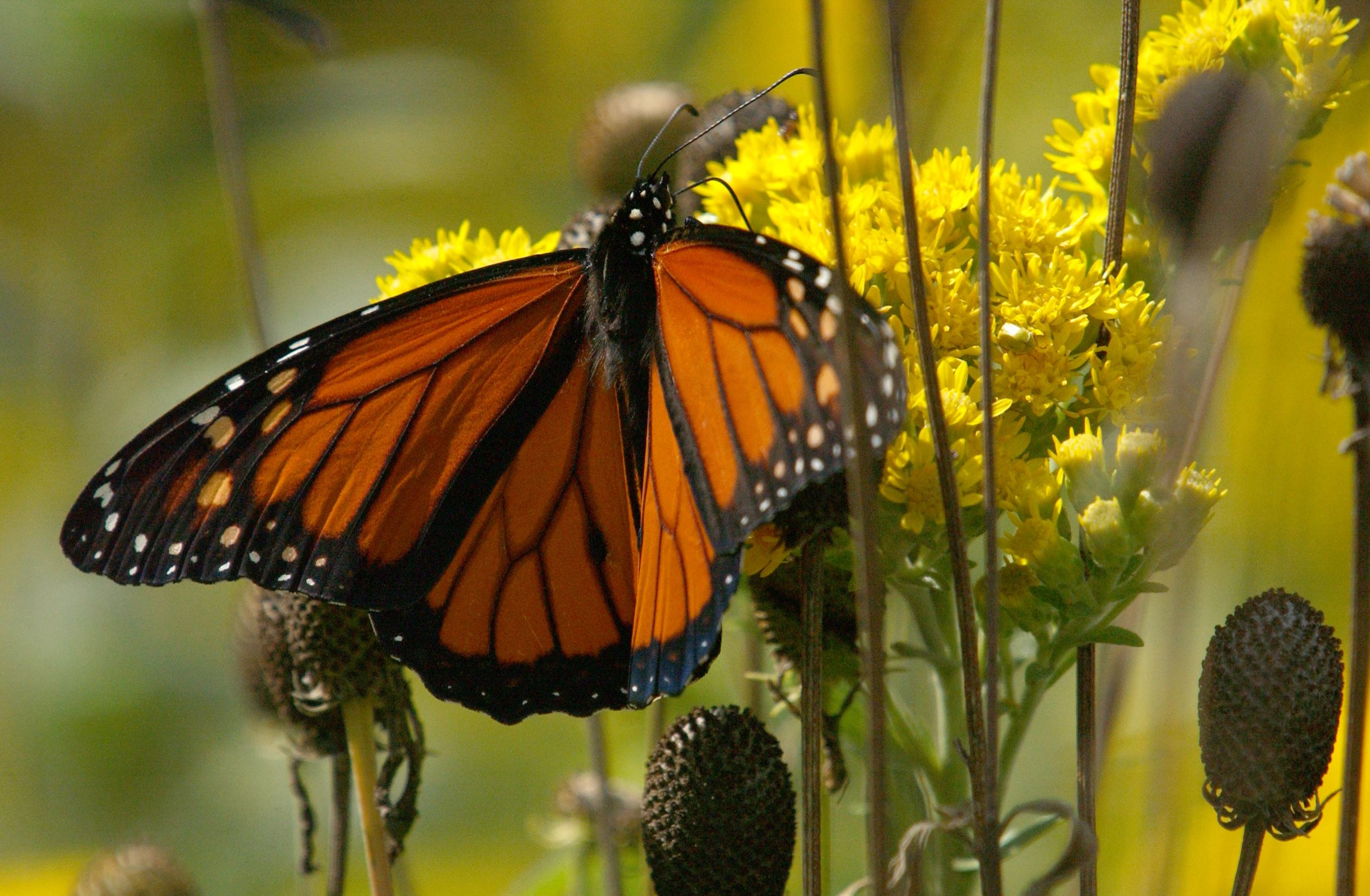 Monarch on Stiff Goldenrod - INHF