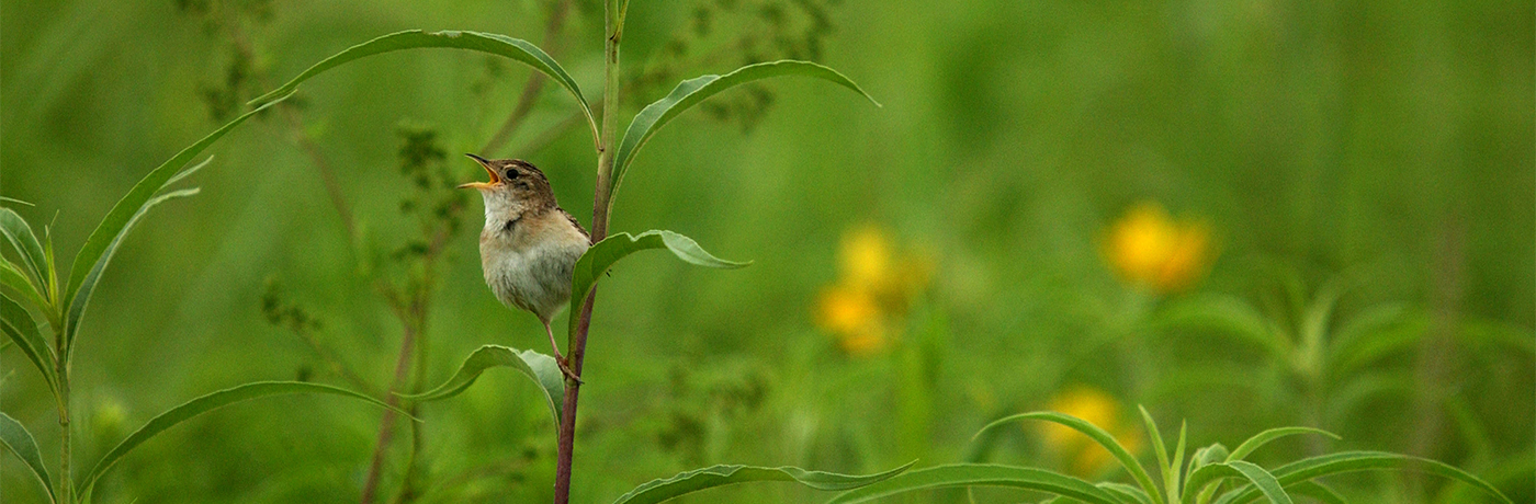 Sedge Wren in Iowa