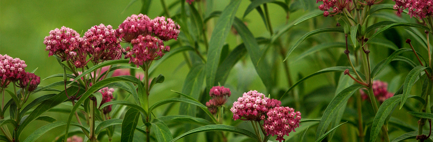 Swamp Milkweed in Iowa