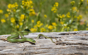 Smooth Green Snake