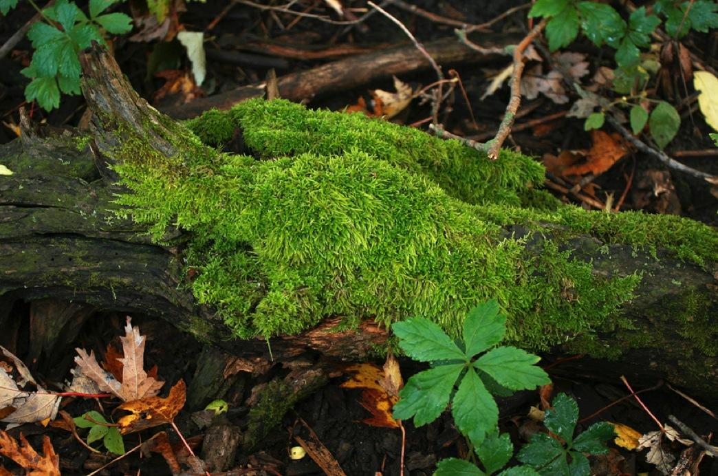 Nature Walk  Common Moss