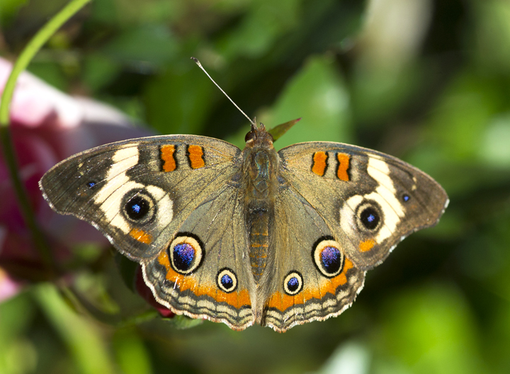 A buckeye butterfly spreads its wings in Van Buren County.
