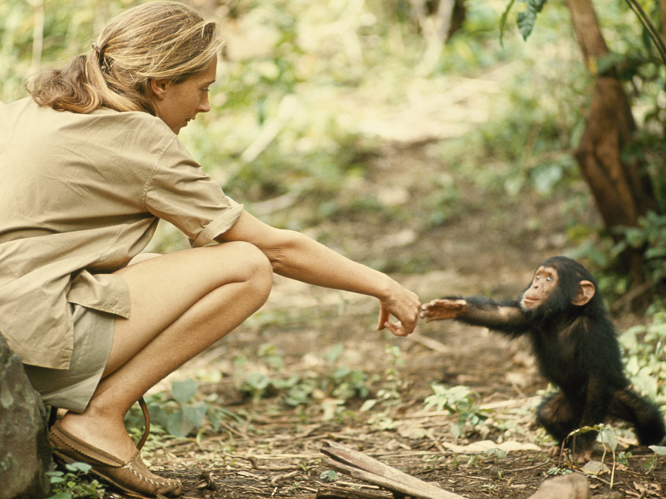 1964 | TANZANIA A touching moment between primatologist and National Geographic grantee Jane Goodall and young chimpanzee Flint at Tanzania's Gombe Stream Reserve. Photo by Hugo van Lawick