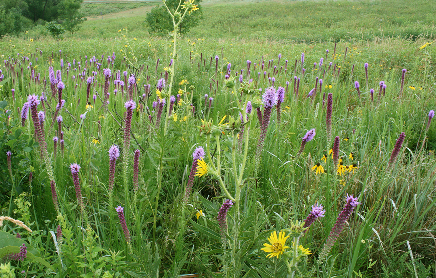 """By any measure of beauty, Prairie blazing star is one of the most anticipated prairie species to bloom with its stunning tall magenta spikes. They belong to the Aster family along with a host of sunflowers and bloom from mid-to late July into mid-August. In the months after flowering, their seeds scatter with wind or rain and new plants are self-seeded.  They make wonderful garden flowers and attract butterflies."""
