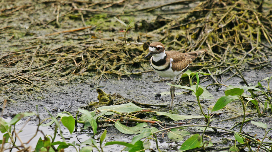 August26Killdeer
