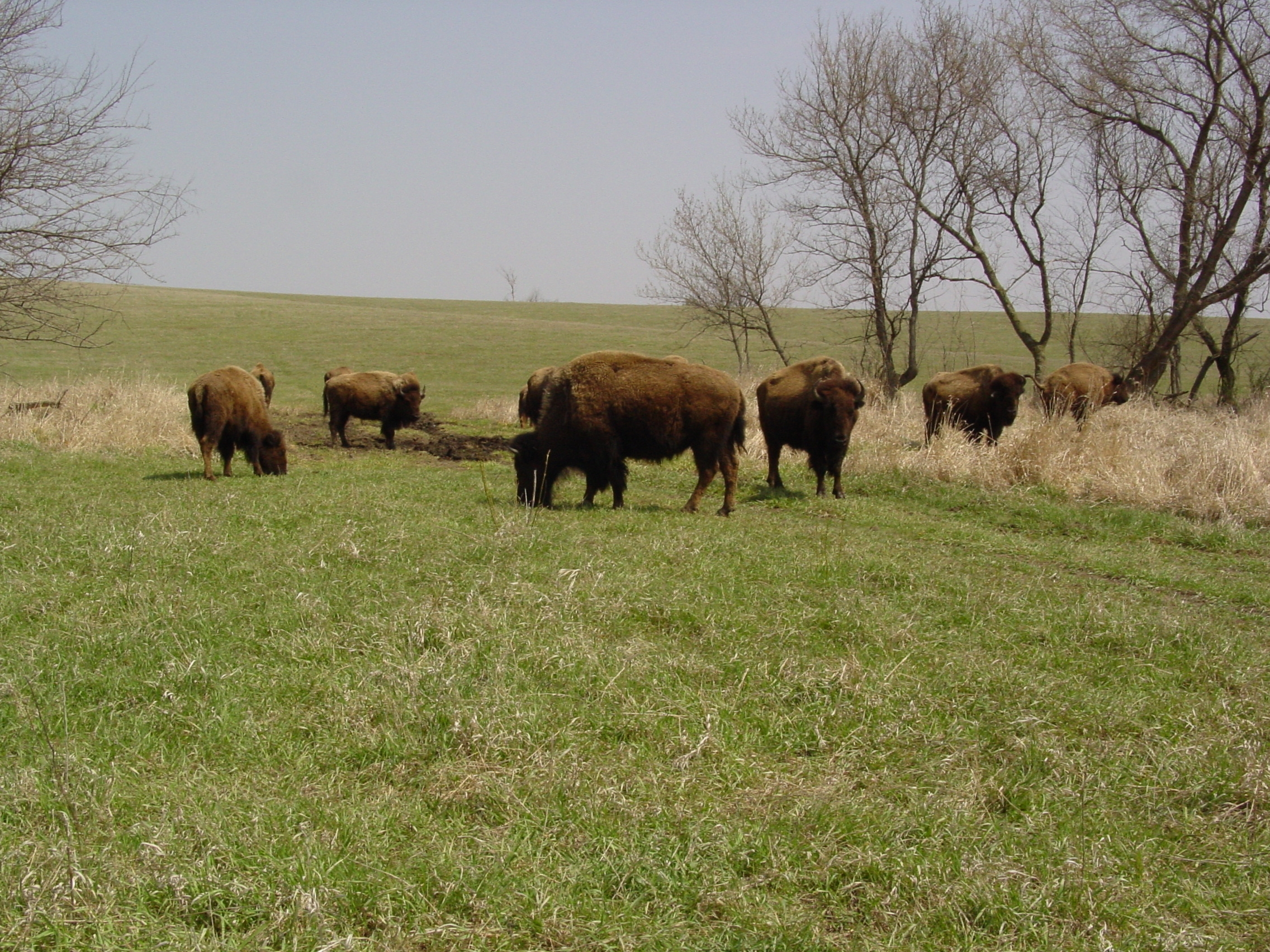 Bison group April 20 Neal Smith NWR Tim Laehn