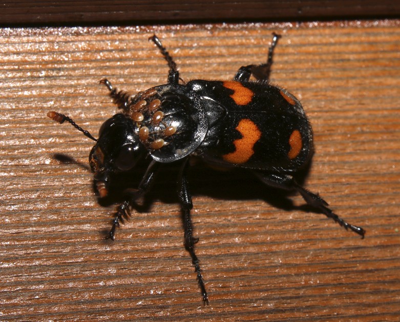 Carrion Beetle and Mites