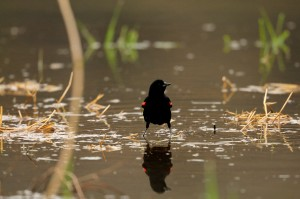 Wetlands provide habitat for various wildlife, such as this redwing blackbird, seen here at the DeCook Wetlands.