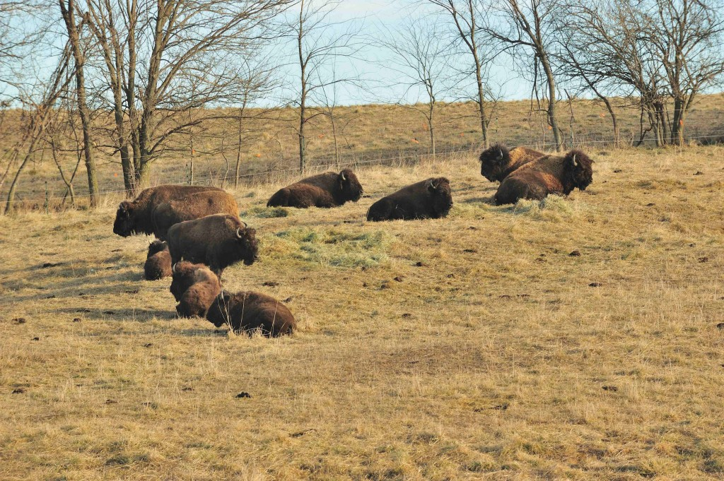 Buffalo roam DeCook's ranch in Monroe County. (Photo by Ron Huelse)