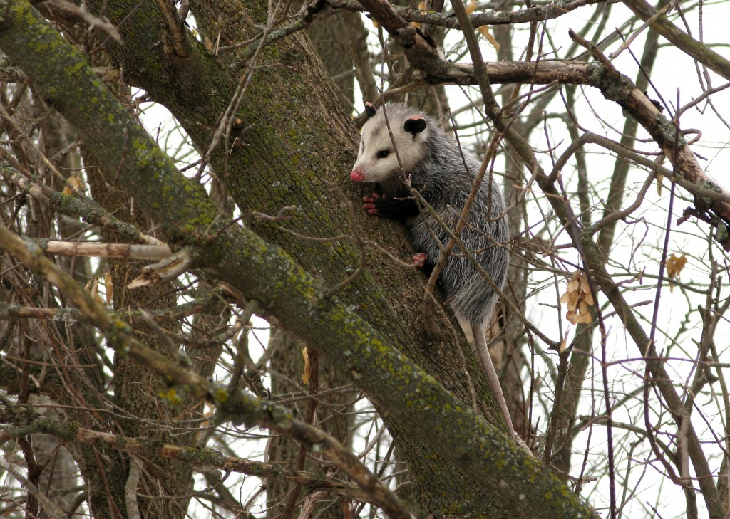 December Opossum in tree