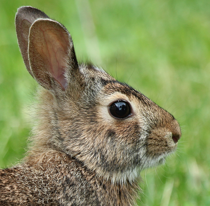 Eastern Cottontails
