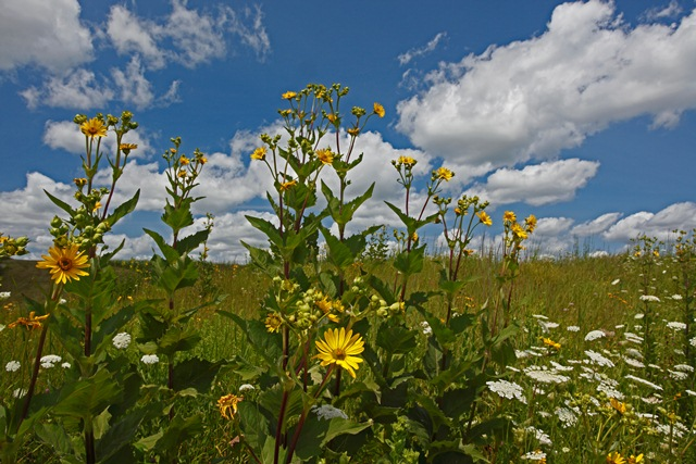 Neal Smith NWR was established to re-create 8,600 acres of tallgrass prairie (pictured here) and oak savanna. (Photo by Gary Hamer)