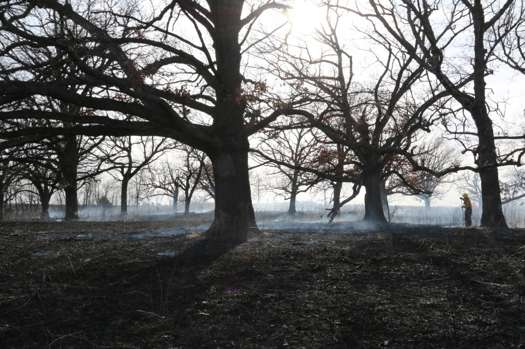 The INHF land stewardship staff checks over an oak savanna shortly after a prescribed burn in Polk County.