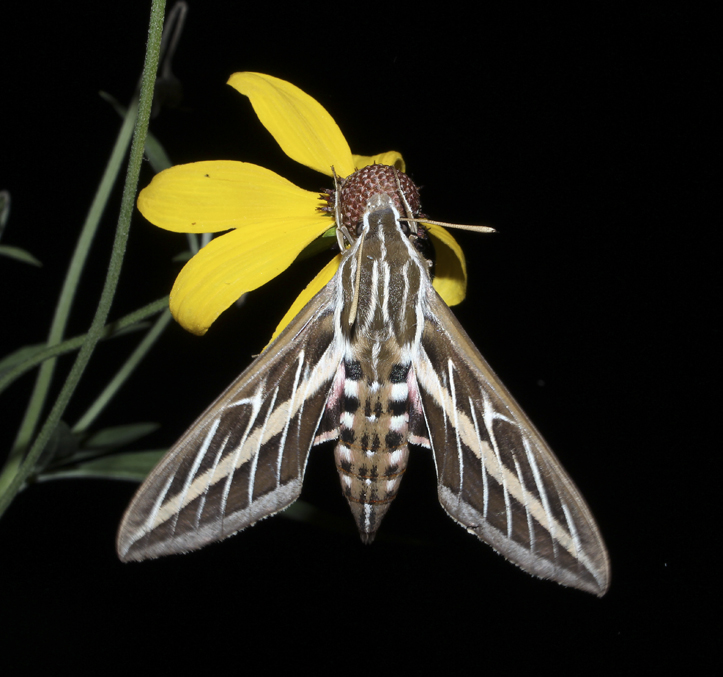 The white-lined sphinx is a large moth and sometimes referred to as a hummingbird moth.  They are generally common in late summer and are often seen feeding on garden flowers.  Like many species in nature, they are beautifully designed with line, pattern and color.  To generate heat in the cool of an evening, they often quiver their wings.