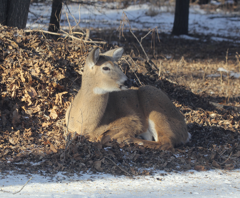 White-tailed deer survive winter cold by taking advantage of available food supplies and utilizing habitat to reduce the effects of penetrating cold.  This doe found shelter from the wind in a small woodland and insulation from the frozen earth on a thick bed of dry leaves.  Freedom from disturbance also reduces stress and the need for extra food.