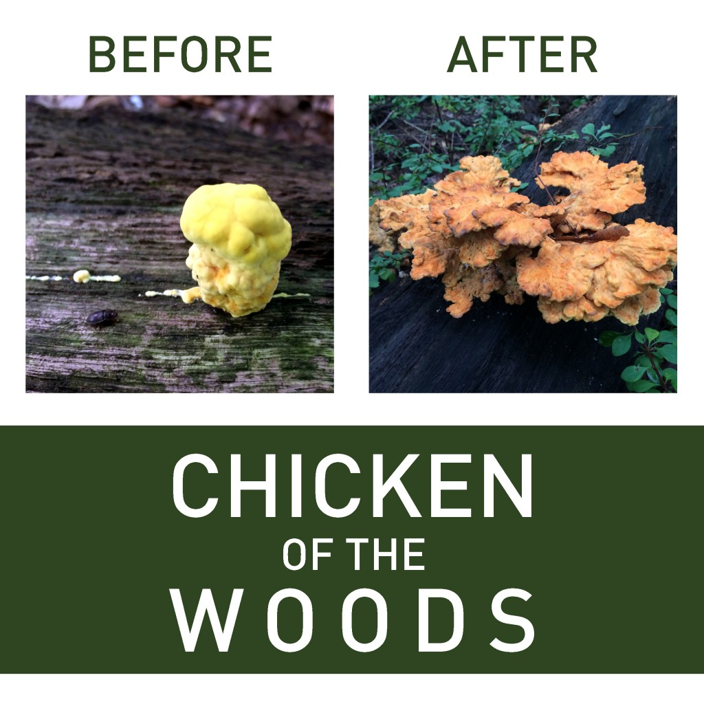 chicken of the woods2