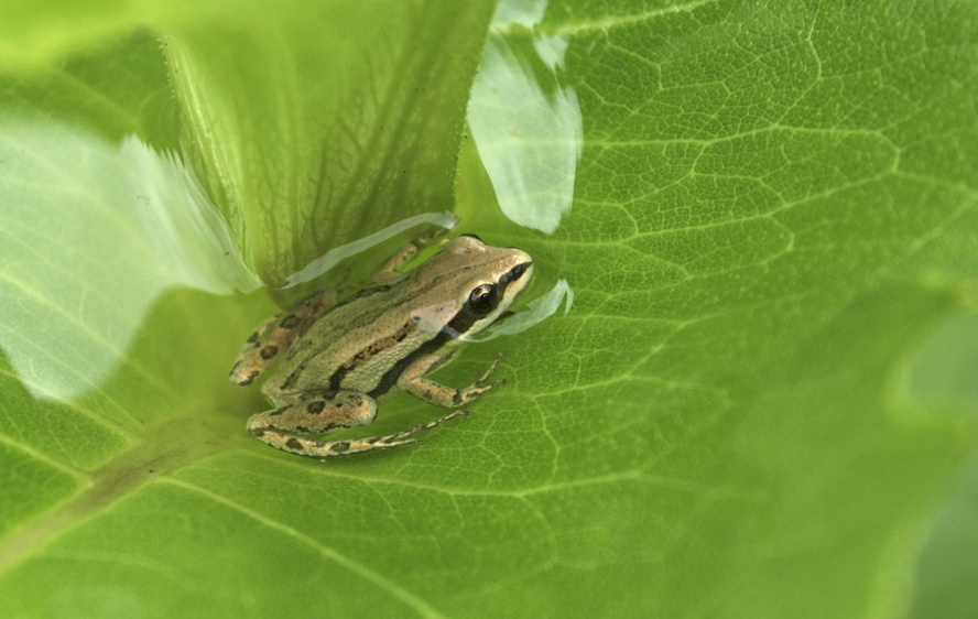 """Water that has collected in the leaves of the cup plant after a rain or from heavy morning dew becomes a microhabitat.  It often contains insects, and may be utilized by amphibians such as this chorus frog or by small songbirds as a source of drinking water."" --- Carl Kurtz"