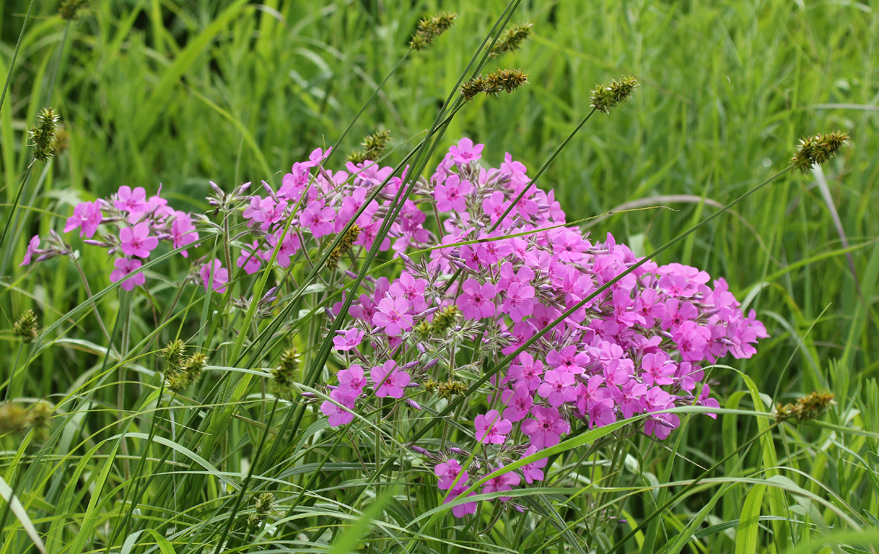 """Downy Phlox (Phlox pilosa) varies from pure white to a deep reddish pink.  Like many other prairie plants it does best with companions.  Here a sedge is growing up within the plant.  Companion plants may give needed support or the competition for root space and nutrients may help control plant height.  In any case a prairie is a community of plants and animals all living together for mutual benefit."" --- Carl Kurtz"