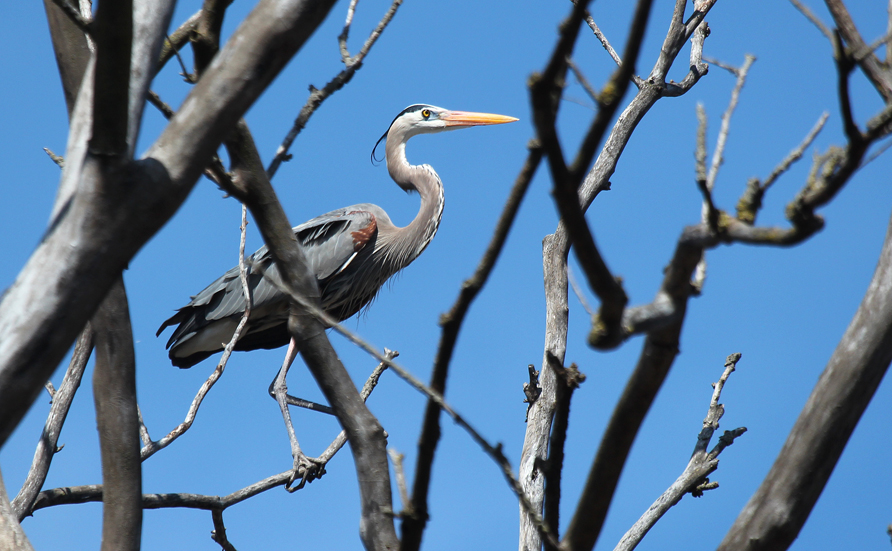 """Great Blue Herons nest in colonies and build stick nests located in the tops of tall trees.  Their colonies are often located near woodland stream corridors, in forests or near lakes.  They may fly for miles to favorite feeding areas, which provide them with fish, insects, frogs, small birds and small mammals."" – Carl Kurtz"
