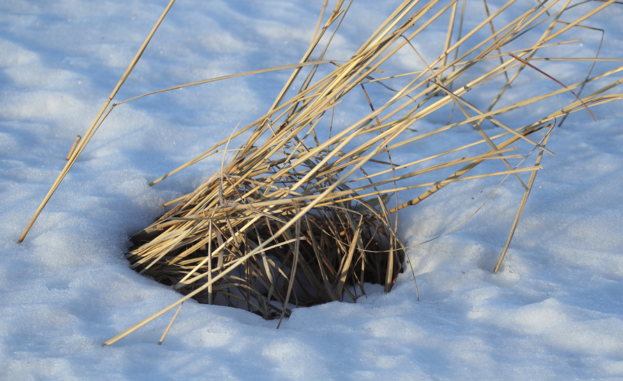 """Layers of heavy wet snow can eventually flatten stands of tall prairie grasses, yet clumps often remain providing access to the surface for small critters.  For deer mice, voles and shrews, it provides an insulation barrier from the cold and protection from predators."" – Carl Kurtz"