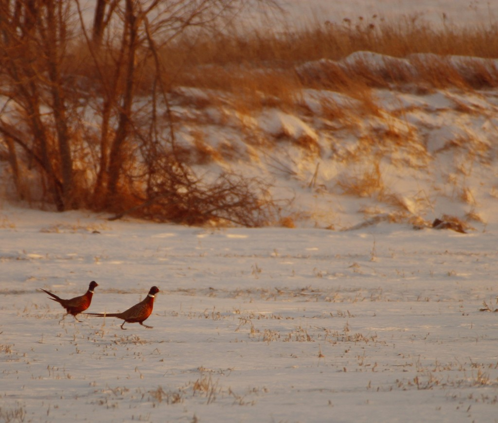 Pheasants run for shelter as the sun sets. (Photo by Bob Lancaster)