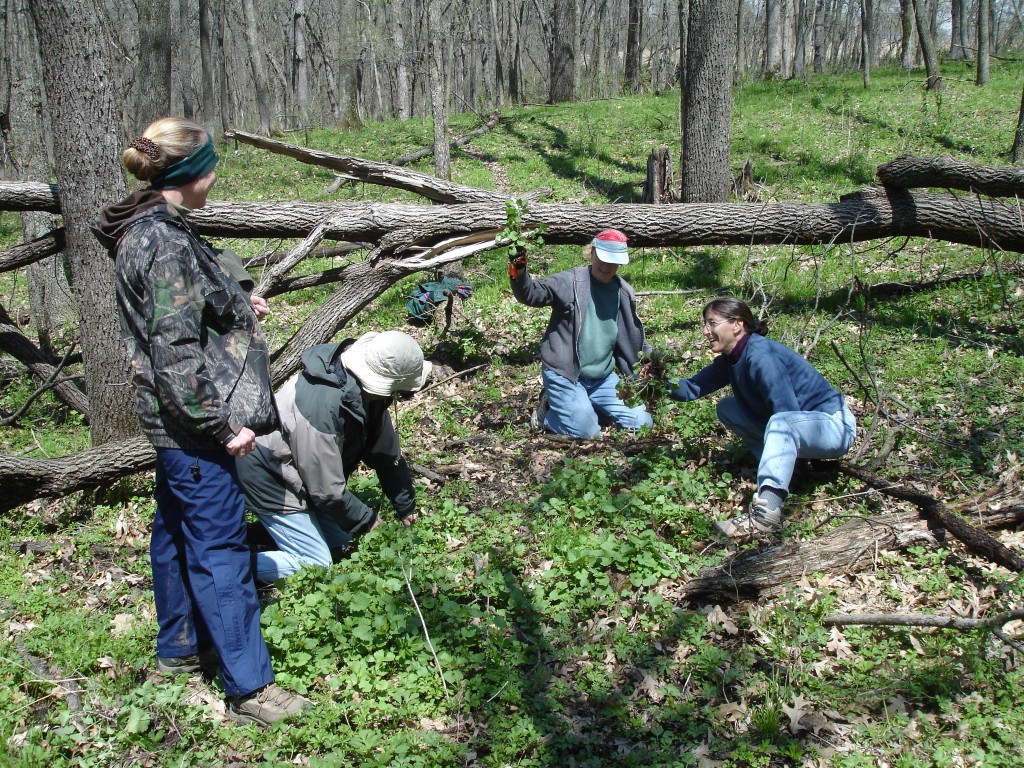 Volunteers remove invasive garlic mustard from Heritage Valley.