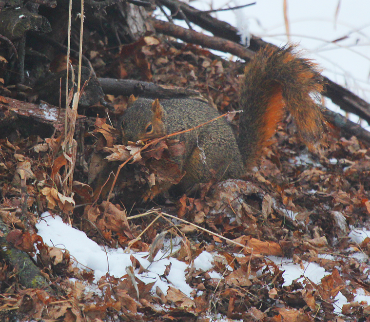 The second week in January does not seem like nesting season unless you are a great-horned owl, a bald eagle, or an eastern fox squirrel.  This squirrel is making repeated trips to a small brush pile gathering dry leaves and taking them to its winter cavity in a silver maple tree. Forty five days after mating in late December or early January a new litter of 3 to 6 individuals will be born in mid-late February. Watch for curious juveniles venturing forth from their den sites in early to mid-May at about 3 months of age.