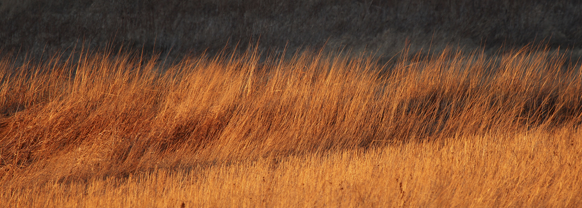Light just before sunset light has a golden hue.  It is soft, may have a reddish cast and because of its low angle causes deepening shadows to form across the land.  Here a stand of big bluestem and Indian grass accent mid-winter prairie.