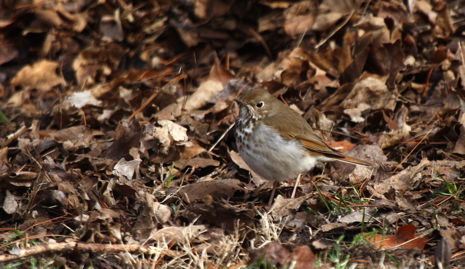 From a distance it may be difficult to distinguish a buff-brown Hermit Thrush from the fallen leaves in an un-raked lawn or a woodland as it searches in the litter for insects. We see them in early spring as they head for nesting areas in northern forests. They are smaller cousins to the American robin, which are also thrushes. Hermit thrushes have reddish tails and spotted breasts.