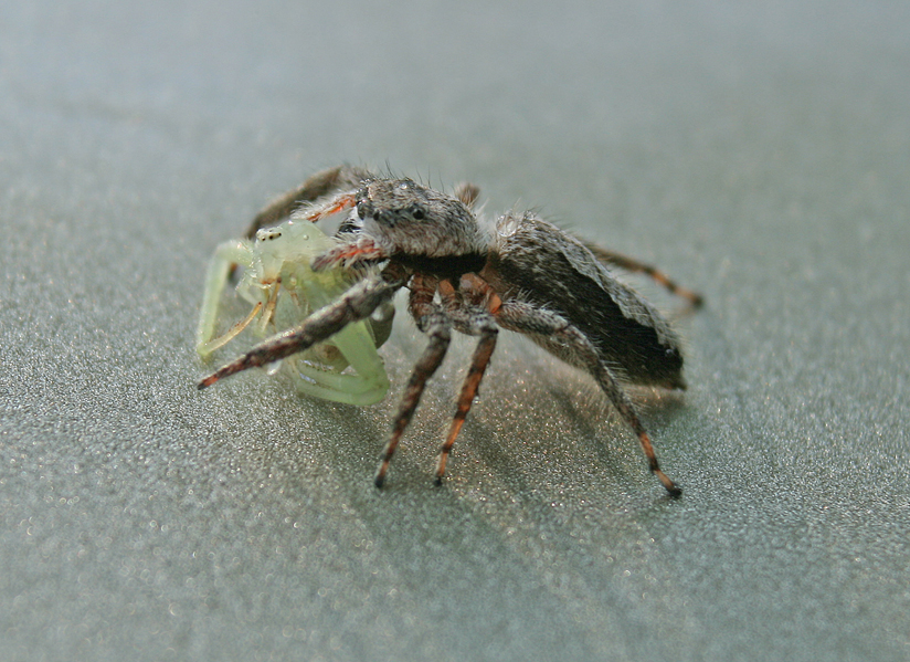 July 15 Jumping Spider