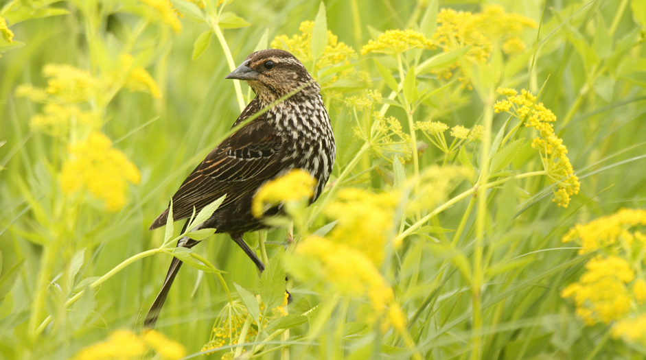 For grassland birds, a habitat with a diverse array of flowers is extremely important. This type of habitat attracts numerous insects, which are an important source of protein critical for the growth and development of young birds during the nesting season.  Here we see a female red-winged blackbird in a prairie covered by Golden Alexander.  Its likely that its woven nest is attached to a sturdy flower stalk such as a compass plant.