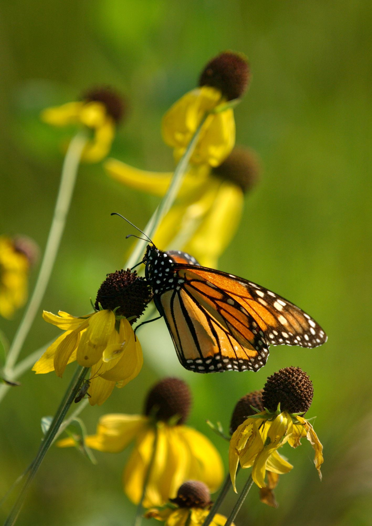Monarch on a gray headed cone flower