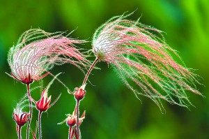 Prairie Smoke - Old Man Whiskers