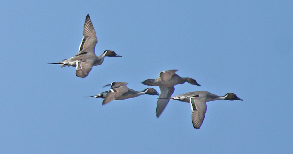 The challenge of watching ducks in flight is keeping up with the action. Dabbling ducks such as mallards, shovelers, blue-winged teal or these pintails take off vertically. Once airborne they often fly as a group, sticking together since there is safety in numbers. They will rapidly gain altitude if departing on a long flight, but if it is a short trip across the marsh, they will likely stay low and quickly drop out of sight behind emergent vegetation.