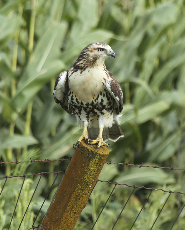 Juvenile red-tailed hawks lack the wariness of mature adult birds.  They are more tolerant of humans and less wary of potential danger.  They lack many of the skills needed to survive and their first year will be the most difficult.