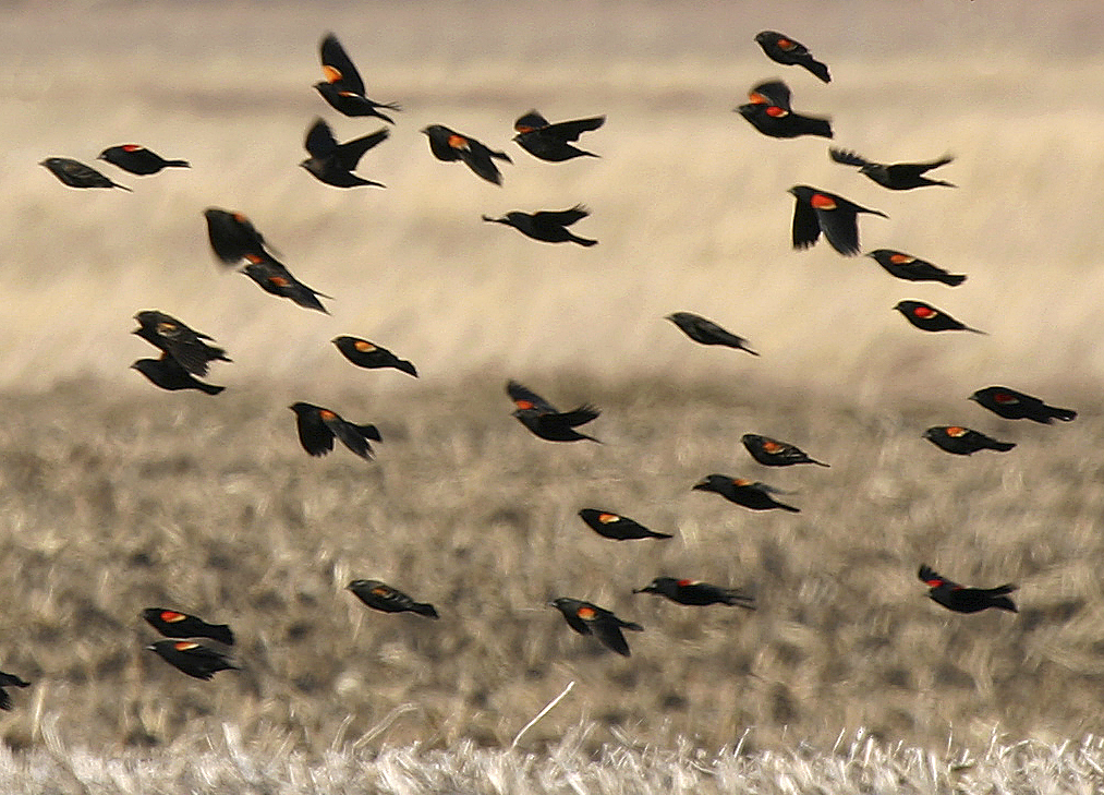 Red-winged Blackbirds near Colo bogs