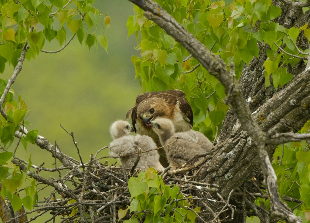 Redtail_Nest04-small