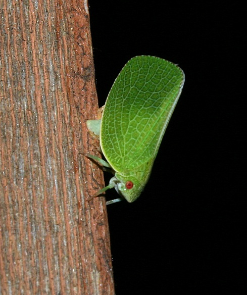 September16_planthoppers
