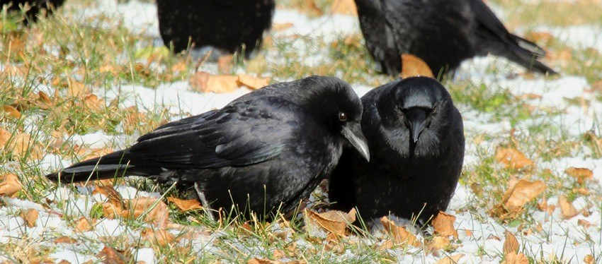 Thanksgiving Crows