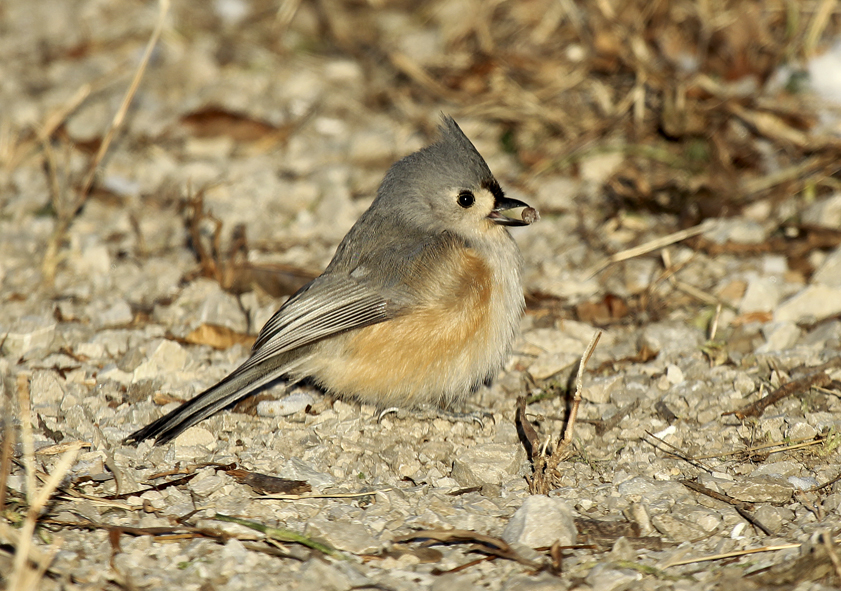 """The Tufted Titmouse is a little gray bird with black-button eyes which is found in the eastern US. They are closely related to chickadees, both being woodland residents, cavity nesters and as birds go very active. Both species may be found foraging along with woodpeckers, juncos and various members of the sparrow family during the winter months. In spring and summer their primary food source is insects and their larvae while in fall and winter it is mainly seeds, nuts, and wild fruits."" – Carl Kurtz"