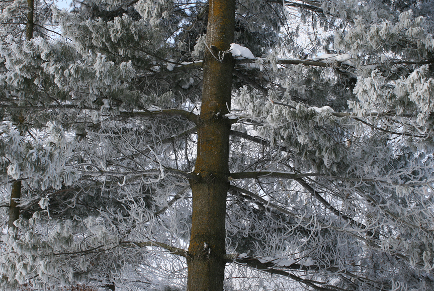 The approximate age of a conifer, such as this white pine, can be   determined by counting the number of whorls of branches from its base   to its crown.  In good growth years the spaces between the branch   whorls will be larger than in years of drought.  We have all seen the   rings recorded in a cross-section of a tree trunk.  A pencil-like core   can also be extracted with a coring tool and growth rings can be   analyzed without damaging the tree.
