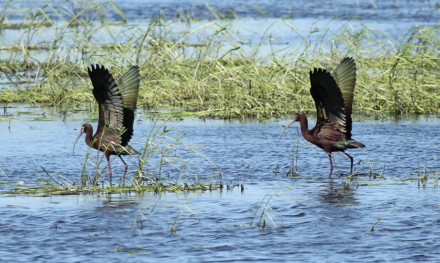 White-faced glossy ibis