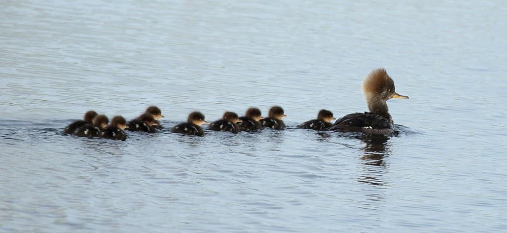 """If you are a Hooded Merganser hen with a brood of ducklings you have a fulltime job keeping them in line.  Like wood ducks they are tree cavity nesters, and readily use wood duck houses on small ponds, streams or rivers.  This group of ten is likely only a few days old; yet can easily keep up with their mother."" --- Carl Kurtz"