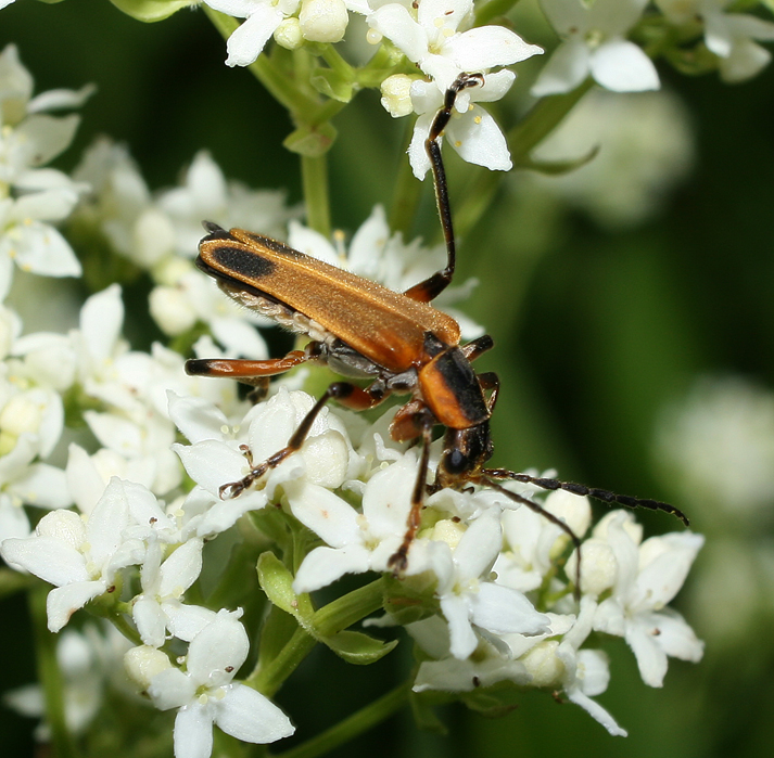 All Rights Reserved Soldier Beetles