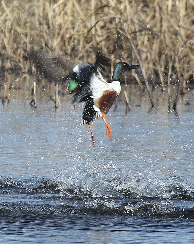 """The Northern Shoveler is in the dabbling duck family with the mallard, blue-winged and green-winged teal.  Like the mallard, they have a green head, but have brown sides, a white breast and an oversized bill. As with other dabbling ducks, they feed on the surface or just below the surface of the water by tipping up. Their abrupt take-offs can create a dramatic disturbance as they launch directly up and out of the water."" – Carl Kurtz"