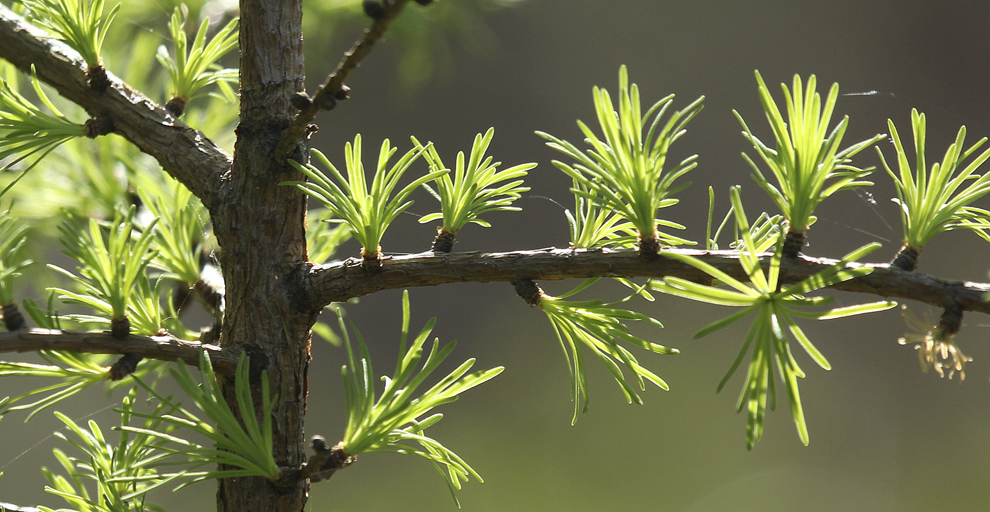 """Coniferous trees, such as spruces, pines and firs, are called evergreens since they have green leaves (or needles) all year.  Tamaracks are coniferous trees found in northern forests; however, they are also deciduous and lose their needles each fall.  New needles produced each spring are about 1 inch long, soft and in whorls of 10-20."" – Carl Kurtz"